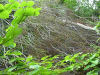 倒れたブナの木
