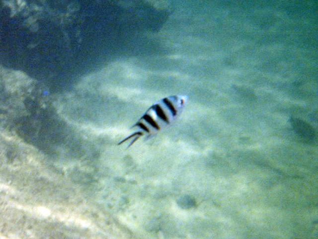 白黒しましまの魚