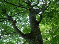 枝っぷりの良いブナ
