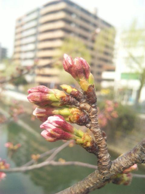 2010.3.23午前中 今にも咲きそうです