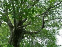 立派なブナの樹