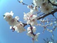 梅7分咲き