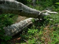根こそぎ倒れたブナの大木