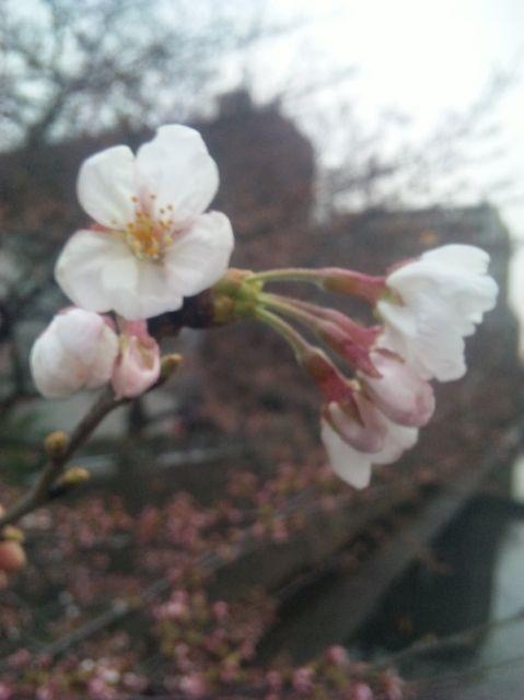 2010.3.23夕方 別の枝ですが咲きました