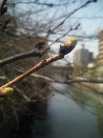 2009/03/17 つぼみ