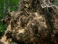 根が抱きかかえていた岩盤