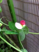 グリーンピース(花)