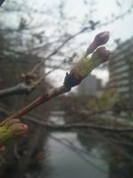 2009/3/24 花芽がでてきました
