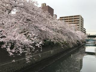 川辺の桜は満開です