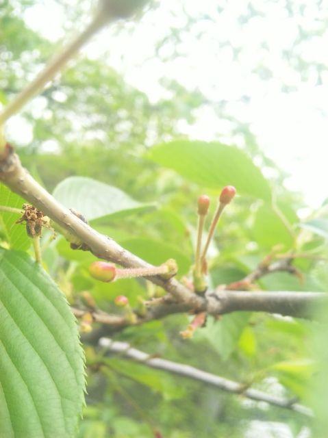 2010.4.27葉桜になり、さくらんぼができてきました