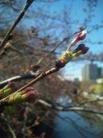 2009/3/26 花芽のひとつがふくらみはじめました