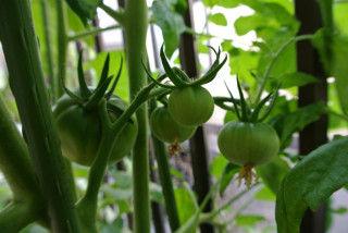 0610大玉トマトの実