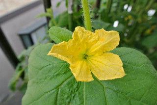 0610コロタン 花